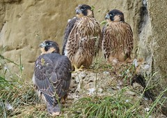 Juvenile Peregrine Falcons ( East Sussex) (GrahamParryWildlife) Tags: mk2 7d sport 150600 sigma grahamparrywildlife uk kent animal outdoor viewing photo flickr add new sunlight depth field plumage bird up blue do sussex peregrine falcon young