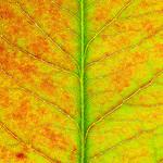 Leaf Texture #5