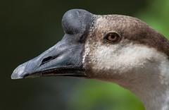 Modern Day Dinosaur (Jay:Dee) Tags: topw toronto photo walks topwdbrf16 dragon boat race festival swan bird avian