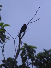 (Ruan Campos) Tags: mg minas brasil brazil horizontes pássaros avesdobrasil natureza naturaleza matas photosbrazil natural damata cor coresdobrasil images