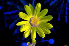 Sundance... flower