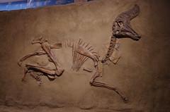 Lambeosaurus (juan_guthrie) Tags: drumheller alberta royaltyrrellmuseum dynosaur