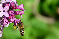 Lilac & Bee (Western Images) Tags: nikon purple bee lilac pollen d7100