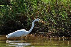 Wading bird (Roving I) Tags: nature birds animals wildlife vietnam hoian rivers waders wading