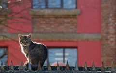 DSC_1422 (adrizufe) Tags: muro wall cat nikon gato bizkaia durango basquecountry durangaldea nikonstunninggallery musikaeskola d7000 adrizufe