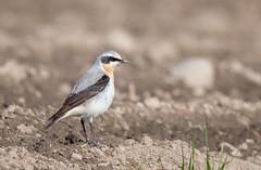 Northern Wheatear (tods_photo) Tags: bird small oenantheoenanthe fiield steinskvett