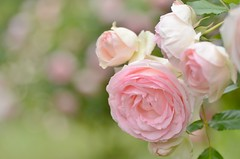 "rose, ""Pierre de Ronsard"" (snowshoe hare*) Tags: pink flowers rose botanicalgarden  pierrederonsard dsc0218"