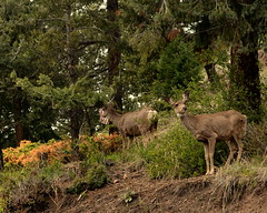 o, deer part II (throwlawjon) Tags: conifer aspen grove deer buck background doe spring woodland rockies colorado outdoor rocky mountains life animal