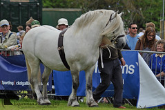 Highland pony (Vicktrr) Tags: show horses horse jumping native fife bull highland pony british hunter welsh harness cob calf gypsy coloured equestrian shetland champions equine agricultural calves clydesdale showjumping foal foals vanner 2015 drey workinghunter
