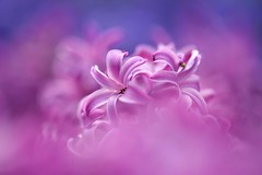 A Sweet Escape (Anna Kwa) Tags: flowers macro art nature smile sunshine marina nikon singapore bokeh d750 hyacinth hidingplace hyacinthus secretplace natashabedingfield afsvrmicronikkor105mmf28gifed flowerdome gardensbythebay pocketfulofsunshine asweetescape annakwa hyacinthuscvpurplesensation