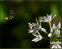 Busy Bees (Karen McQuilkin) Tags: flowers macro nature flight buzzed busybees wildonions