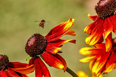 The Fly Past............!! (sandy_photo) Tags: flower horticulture kolkata blackeyedsusan westbengal rudbekia horticultureshow sandipsarkarphotography
