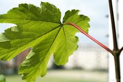 maple leaf (Anita Pravits) Tags: maple ahorn