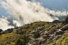 Alpines Rhododendrons@ Mt. Hehuan   (Jennifer ) Tags: park morning mountain flower sunrise landscape image taiwan  national rhododendron  taroko   nantou                      alpinesrhododendrons