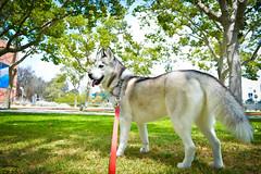 _DSC0048 (classic77) Tags: dog husky canine siberian sled k9