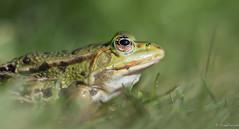 Chillingfrog (jacobsfrank) Tags: macro nature water nikon flickr groen belgium belgie natuur frog kikker amfibie jacobsfrank frankjacbobs
