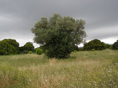 (Psinthos.Net) Tags: trees sky nature leaves clouds countryside spring cloudy path may greens wildflowers mayday treebranches shrubs yellowflowers olivetree fiels cloudiness drygrass        psinthos