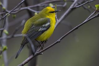 Blue-winged warbler-Mine Road-5-4-16-1