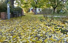 hojas (marianodearriba) Tags: plaza hojas otoo tres arroyos marianodearriba