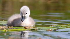Young One (wimzilver) Tags: nature canon swan nederland zwaan alblasserdam hoekzoeker wimzilver canoneos7d wimboon canonef300mmf4lisusm14x