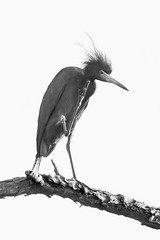 Little Blue Heron Preening (stephaniepluscht) Tags: blue bon blackandwhite white black heron little wildlife alabama preening national scratch preen scratching refuge 2016 secour