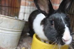 IMG_7633 (Gioser_Chivas) Tags: rabbit bunny animal conejo mascota vertebrado gioserchivas