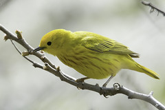 yellow warbler (material guy) Tags: massachusetts newburyport plumisland yellowwarbler parkerrivernwr mondaybirding