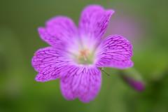 DSC_0161.NEF (tibal26) Tags: flower closeup natural x10