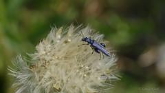 Grner Scheinbockkfer (Oedemera nobilis) (Oerliuschi) Tags: natur panasonic grn oedemeranobilis bockkfer macroaufnahme scheinbockkfer olympus60mm lumixgx8