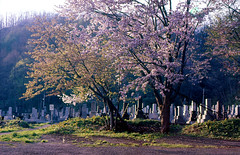 Cemetery in Ikushunbetsu (threepinner) Tags: tree cemetery japan cherry 50mm iso100 evening spring hokkaido pentax tomb mg    positive hokkaidou mikasa selfdeveloped rikenon  f17 northernjapan  ikushunbetsu