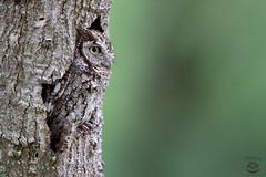 Nothing To See Here (Megan Lorenz) Tags: travel wild bird nature florida wildlife owl avian birdofprey wildanimals 2016 screechowl mlorenz meganlorenz