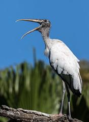 Mine! All mine! (fins'n'feathers) Tags: birds animals florida wildlife staugustine stork rookery nesting nests woodstork alligatorfarm