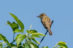 Willow flycatcher (zxorg) Tags: colonyfarms coquitlam bc bird perchingbird willowflycather