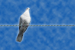 Pigeon on a wire -[ HSS ]- (Carbon Arc) Tags: bird animal photoshop outdoors wire pigeon cable perch avian sliderssunday