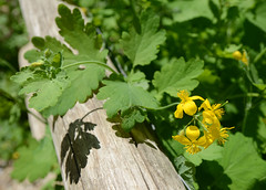 yellow flowers in bloom (mcfcrandall) Tags: summer toronto flower yellow post path may rail ravine greatercelandine chelidonium beltlinetrail milkmanslane