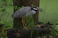 Yellow Crowned Night Heron_6077 (Porch Dog) Tags: nature birds spring kentucky wildlife feathers may fx avian 2016 garywhittington nikond750 nikon200500mm