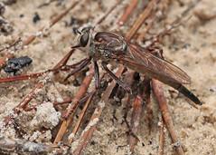 Robber Fly (Proctacanthus sp.) (Mary Keim) Tags: taxonomy:genus=proctacanthus centralflorida marykeim lowerwekivariverpreservestatepark