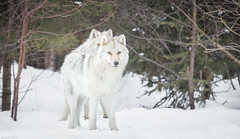 Loup gris du Canada (camel.arnaud) Tags: loup wolf gris grey timberwolf timber canada qubec hiver winter snow