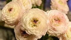 Ranunculus (PMillera4) Tags: flower ranunculus