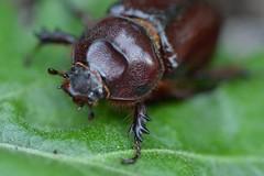 (13) Detalle cabeza y trax de una hembra (artropod.bio6q (Francesc Caralt Rafecas)) Tags: cabeza imago hembra adulto trax oryctesnasicornis escarabajorinoceronte