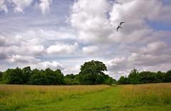 June sketches (Caulker) Tags: clouds gull meadow allumlanepark 19062016