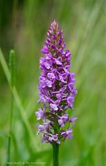 Kents Chalk Fragrant Orchids - Gymnadenia conopsia (favmark1) Tags: kent orchids wildorchids gymnadeniaconopsea britishorchids orchidswild chalkfragrantorchids kentorchids orchidsbritish