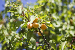 Apricot tree (Nuria Ocaa) Tags: morning light summer food mountain tree green nature beauty leaves fruit garden 50mm apricot summertime altemporda emporda greenisgood albaricoque apricottree 60d apricotfruit
