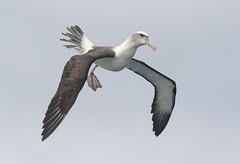 Best foot forward (christinaportphotography) Tags: wild bird birds foot flying wings sydney free australia landing nsw albatross pelagic shyalbatross mollymawk shymollymawk thalassarchecauta