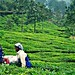 The tea makers of Munnar
