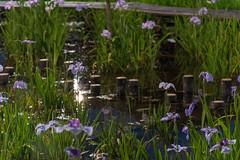 55Yamada Pond Park (anglo10) Tags: flower japan nightscape