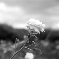 Rose (mitsumine_884) Tags: japan rollei rolleiflex fuji  fujifilm  aichi okazaki  neopan100acros rolleiflex35fplanar