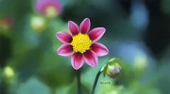 Dahlia (Diane G. Zooms---Mostly Off) Tags: dahlia dahliaflower flowers dahliawithtexture dianegiurcophotography artdigital vividstriking