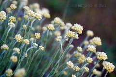 DEL CAMPO (mamherrera) Tags: flower planta fleur canon flor blomma  blume fiore blomst bloem lorea kwiat profundidaddecampo blodyn   blth  floracin