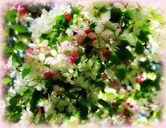Cherry Blossom with a Lomo kiss. (Jane.Des) Tags: pink white plant flower tree cherry bright pastel blossoms lomoish